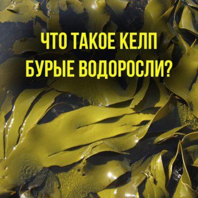 келп бурые водоросли